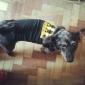 Dog Shirt / T-Shirt Black Dog Clothes Winter Letter & Number