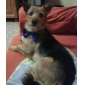 bow tie stil krage for hunder og katter (assorterte farger)